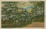 Dogwood in Bloom Postcard