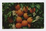 Florida Oranges Postcard by Denis Mailhot MPS